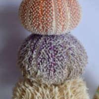 Sea Urchin Buttons thumbnail