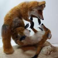 Playful Foxfight thumbnail