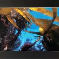 Seaweed Underwater in Shetland thumbnail