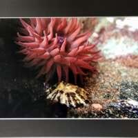 Big Red Anemone Underwater in Shetland thumbnail