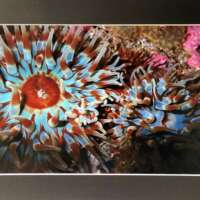 Blue and Red Anemones Underwater in Shetland thumbnail