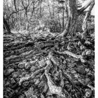 Pine Roots thumbnail